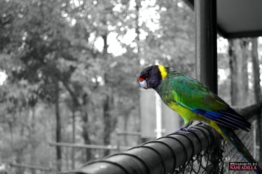 Pretty Parakeet | Perth, Western Australia (Shot on Nikon D3100, edited with iSplash)