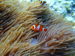 Spotting clownfishes | Gili Trawangan, Lombok, Indonesia (Shot on Olympus TG-630)