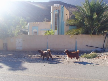 Why did the goat cross the road? | Nizwa, Oman (Shot on Olympus TG-630)