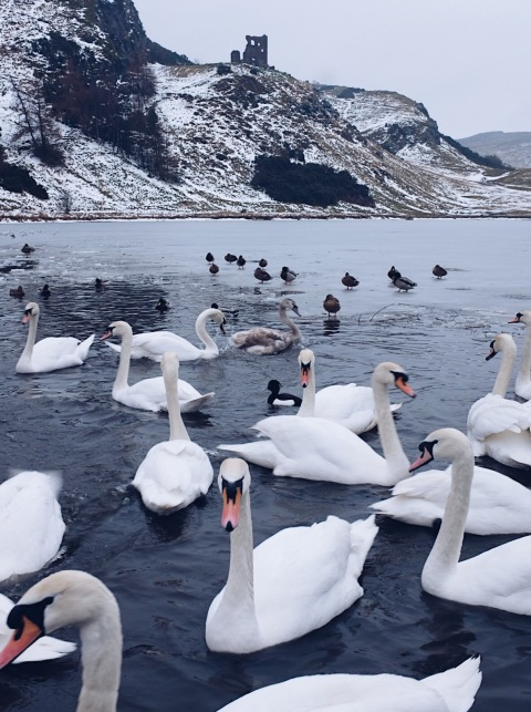 Swans in a frozen lake | Edinburgh, Scotland (Shot on Fujifilm x100t)